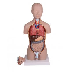 Mini torzo lidského těla - oboupohlavní - 16 částí
