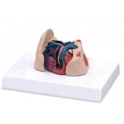 Model srdce a plic kočky domácí