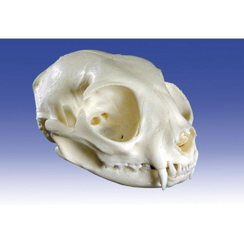 Model lebky kočky domácí