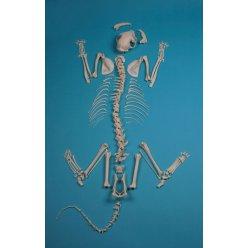 Skelet kočky domácí - nesestaveno