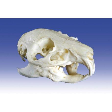 Model lebky morčete