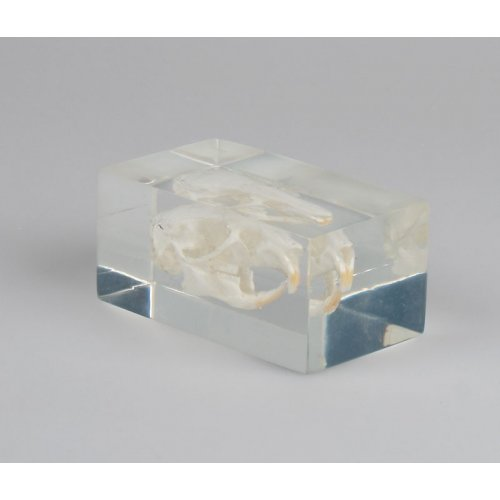 Model lebky morčete v plastovém obalu