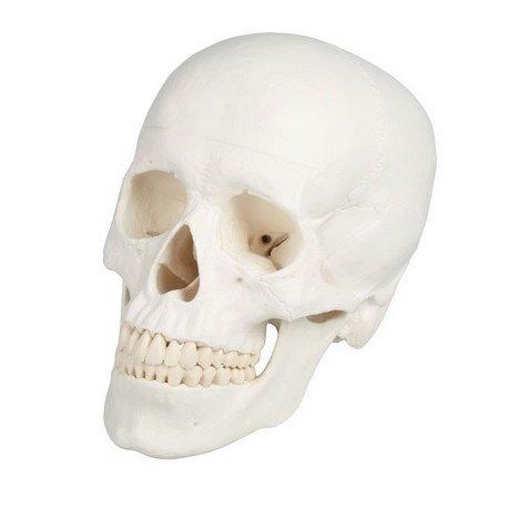 Model lidské lebky - 3 části