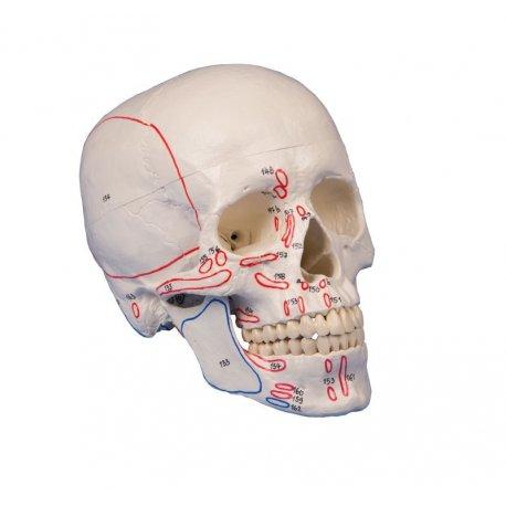 Model lebky s vyznačením svalů - 3 části