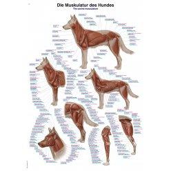 Schéma - svalstvo psa domácího