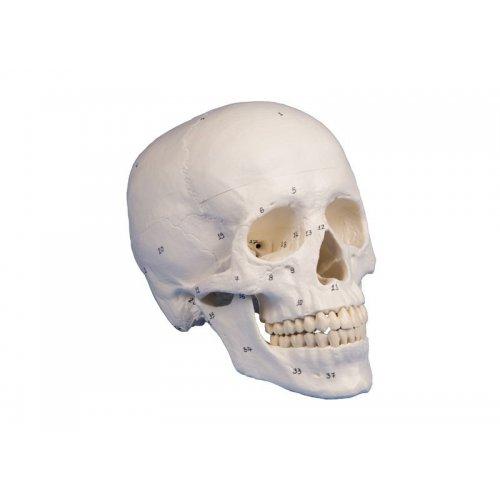 Model lidské lebky - očíslovaný - 3 části