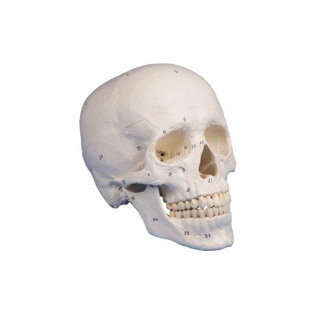 Model lebky - očíslovaný - 3 části