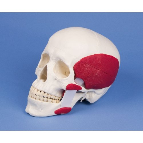 Model lidské lebky se žvýkacími svaly - 3 části