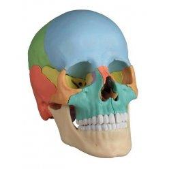 Model lidské lebky - didaktický - 22 částí