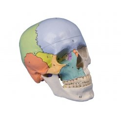 Model lidské lebky - didaktický - 3 části