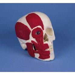 Model lidské lebky se svaly