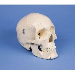 Model lidské lebky - dentální - 4 části