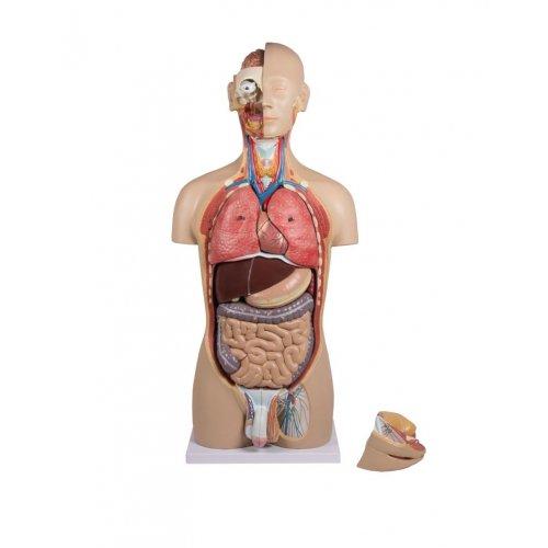 Torzo lidského těla - oboupohlavní s otevřenými zády - 27 částí