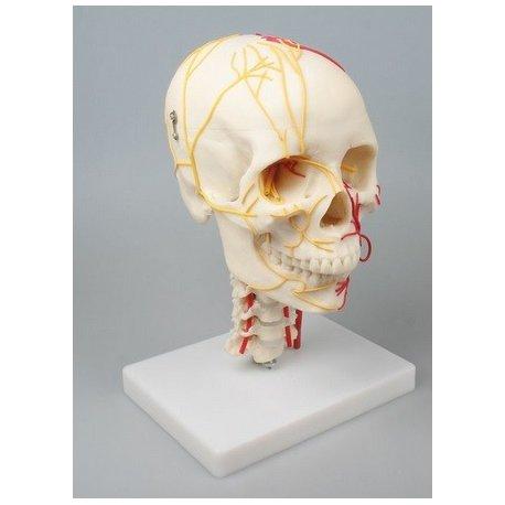 Model lidské lebky - neurovaskulární