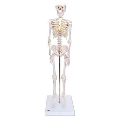 Mini model lidské kostry - na podstavci