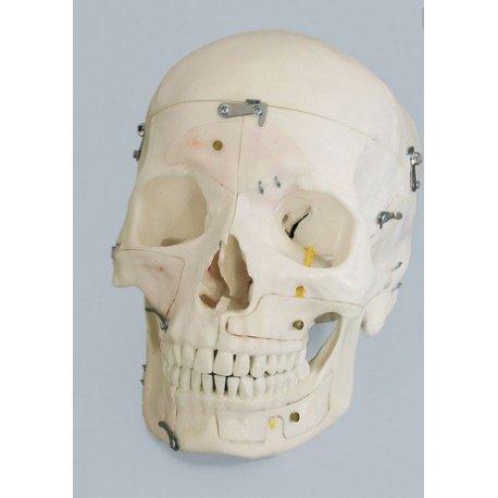 Model lidské lebky - demonstrační - 14 částí