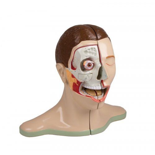 Model lidské hlavy s krkem - 5 částí