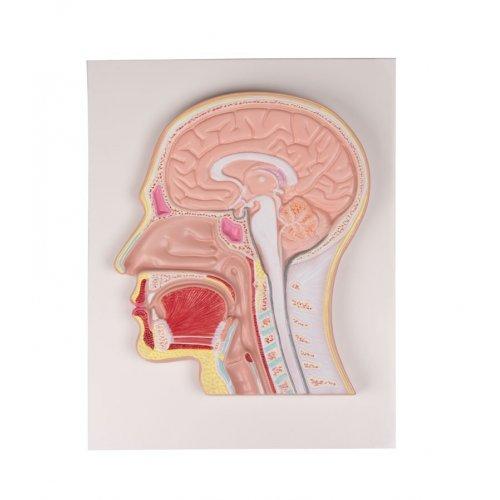 Řez lidskou hlavou - mediánní