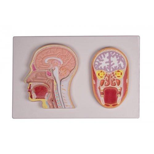 Řez lidskou hlavou - mediánní a frontální