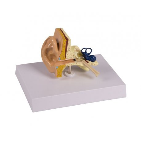 Model lidského ucha - přirozená velikost