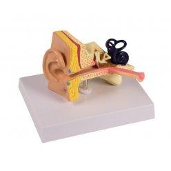 Model dětského ucha - 1.5 krát zvětšeno