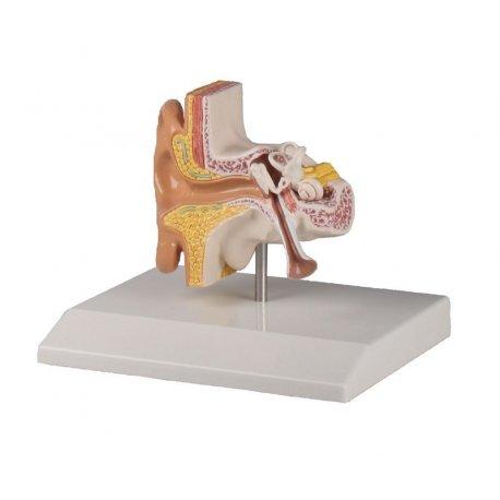 Model lidského ucha - 1.5x zvětšeno