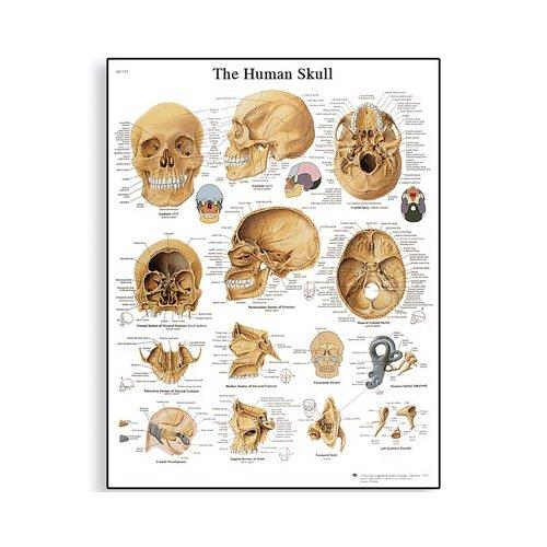 Schéma - lidská lebka - AJ - 50x67 cm