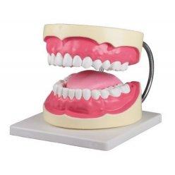 Model péče o lidské zuby - třikrát zvětšeno