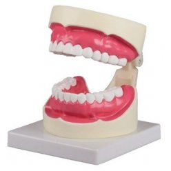 Model péče o lidské zuby - 1.5x zvětšeno