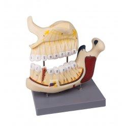 Model horní a dolní čelisti se zuby - 2,5x zvětšeno