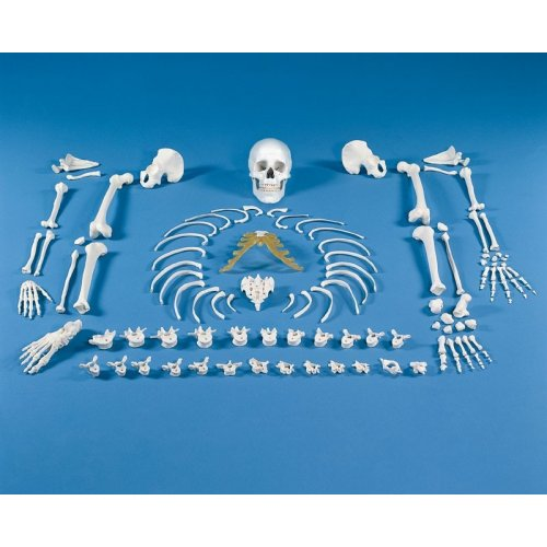 Model lidské kostry - nesestaveno