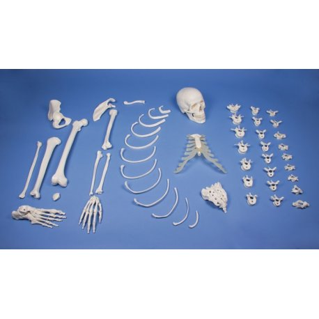 Model poloviny lidské kostry - nesestaveno