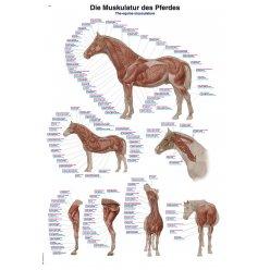 Schéma - svalstvo koně