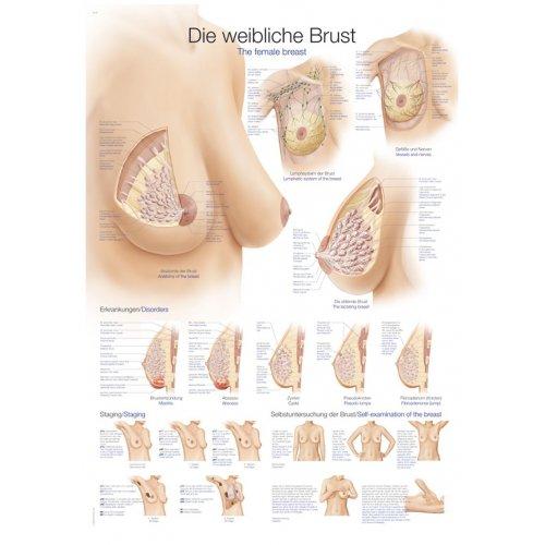 Schéma - ženský prs