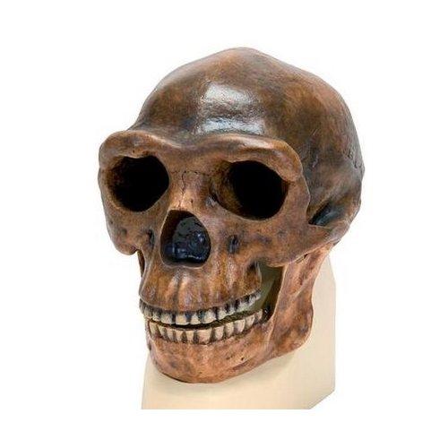 Antropologický model lebky - Sinanthropus - Homo erectus