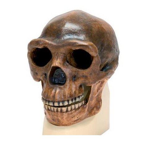 Antropologický model lebky - Sinanthropus - Homo sapiens