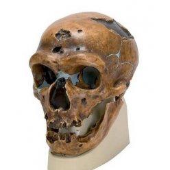 Antropologický model lebky - La Chapelle-aux-Saints - Homo sapiens neanderthalis
