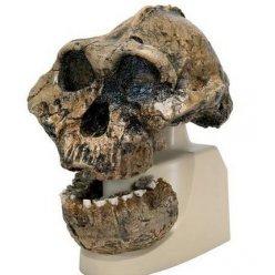 Antropologický model lebky - KNM-ER 406, Omo L. 7a-125 - Australopithecus boisei