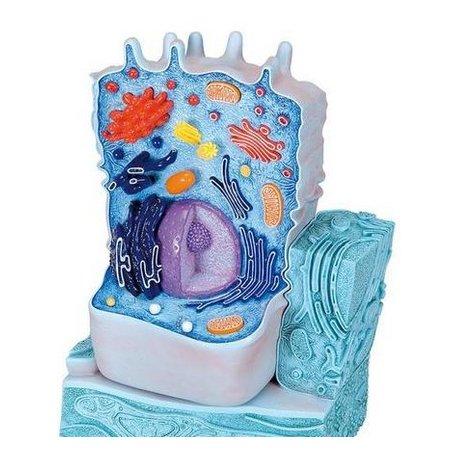 Model živočišné buňky