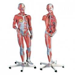 Model lidského svalstva - oboupohlavní - na pojízdném stojanu - 45 částí