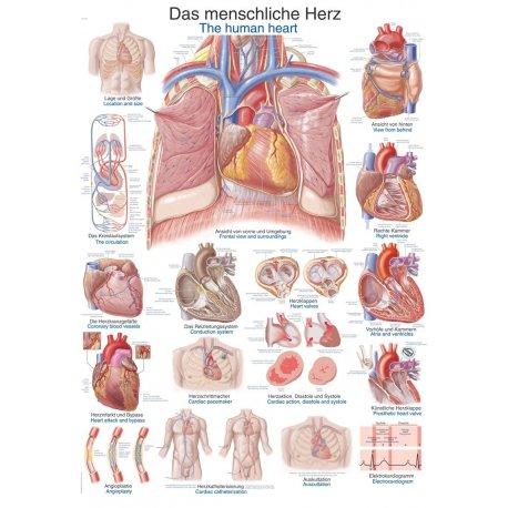 Schéma - lidské srdce