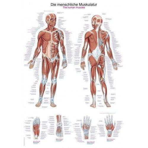 Schéma - lidské svalstvo