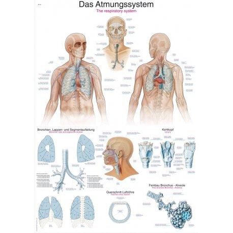 Schéma - dýchací soustava člověka