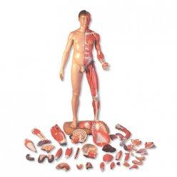 Model lidského svalstva - oboupohlavní v životní velikosti - asiat - 39 částí