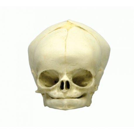 Model lebky lidského plodu - 40. týden