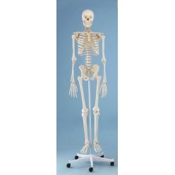 Model kostry člověka