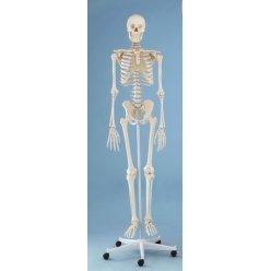 Model kostry člověka na pohyblivém stojanu