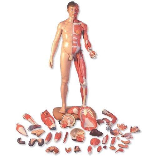 Model lidského svalstva - oboupohlavní v životní velikosti - evropan - 41 částí