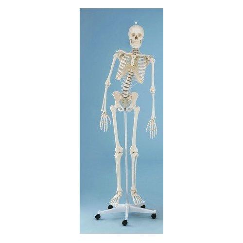 Model kostry člověka s pohyblivou páteří
