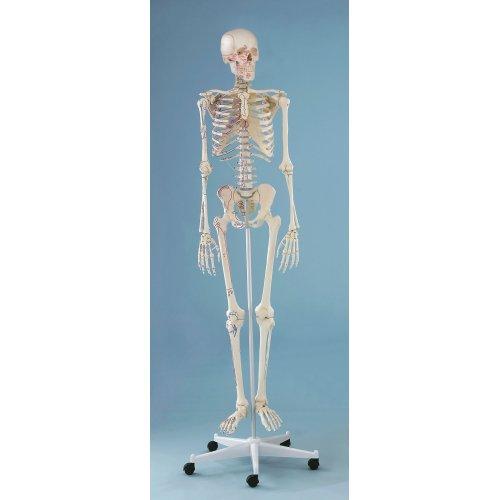 Model kostry člověka s vyznačením svalů - na pohyblivém stojanu